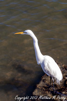St. Augustine - Great Egret